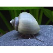 Ампулярия голубая размер от 0,5 см до 1 см