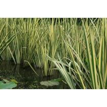 Аир болотный Variegatus