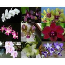 Микс из разных расцветок дендробиум (Dendrobium)