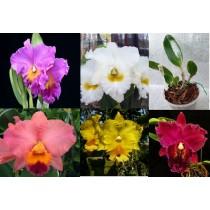Микс из разных расцветок Катлея (Cattleya)