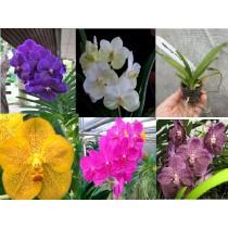 Микс из разных расцветок Ванда (Vanda)