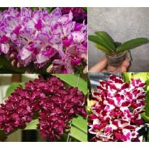 Микс из разных расцветок Ринхостилиса (Rhynchostylis gigantea)