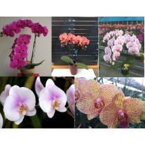Микс из разных расцветок фаленопсиса (Phalaenopsis)