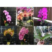 Набор из разных сортов орхидей №3