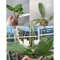 Набор из трех разных орхидей №1