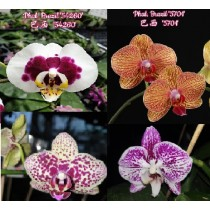 Микс №2 из разных расцветок фаленопсиса (Phalaenopsis)