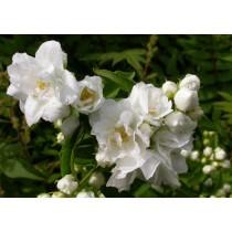 Чубушник гибридный (сорт 'Bouquet Blanc')