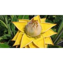 Банан китайский карликовый Золотой Лотос