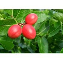 Карисса крупноплодная, или ягодичная слива