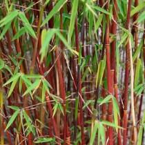 Бамбук, или фаргезия jiuzhaigu (сорт Red panda)