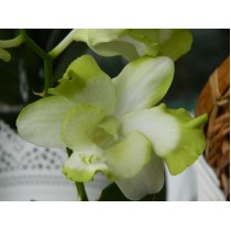 Dendrobium Ever Green