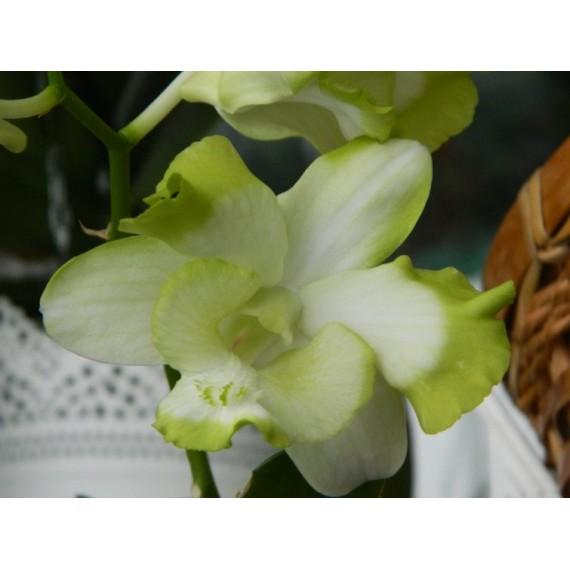 Dendrobium Ever Green
