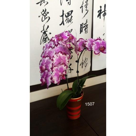 Phalaenopsis DSM 1507