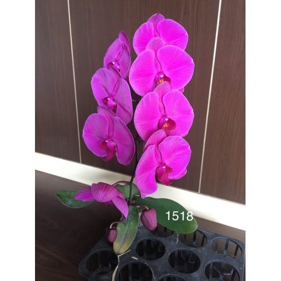 Phalaenopsis DSM 1518