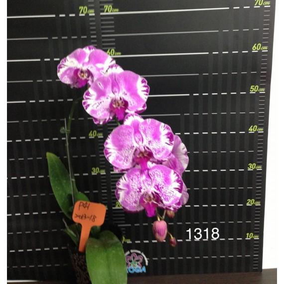 Phalaenopsis DSM1318