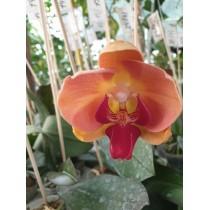 Phalaenopsis DSM1422