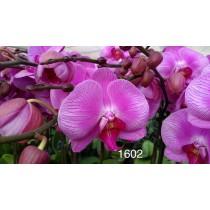 Phalaenopsis DSM1602