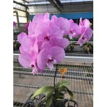 Phalaenopsis hybrid DSM-1529