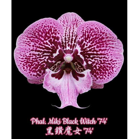 Phal. Miki Black Witch '74'